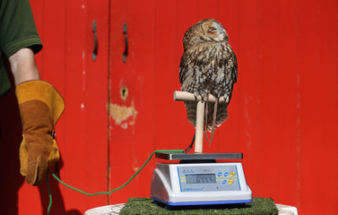 Alberta, a Tawny Owl perches on a scale during a photocall to publicize the annual measuring of all the animals at the London Zoo, in central London