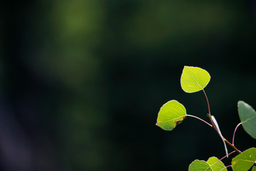 Young Aspen Leaves Against Deep Green Background