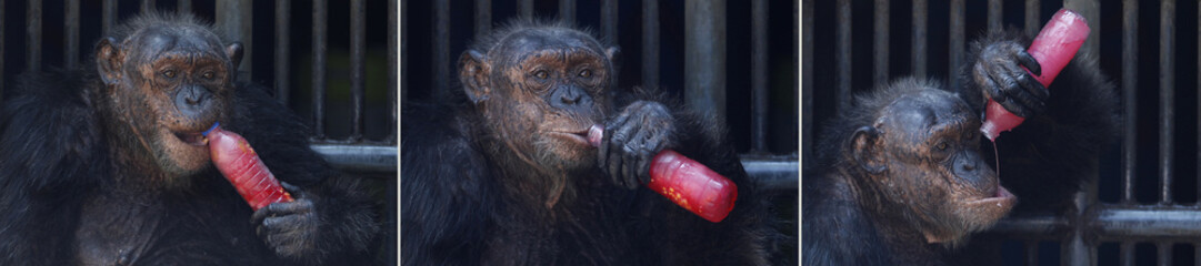 This combo picture shows a chimpanzee drinking a sweet refreshment at Dusit Zoo in Bangkok