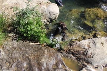 chien cane corso se relaxant dans un ruisseau