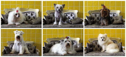 A combination of pictures shows dogs posing on a sofa after a beauty treatment for dogs at Pet Salon in Sao Paulo