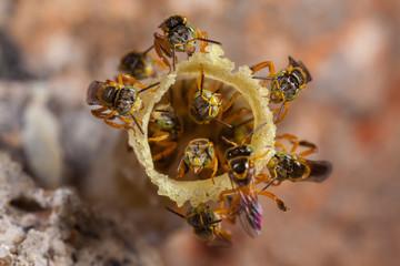Tetragonisca angustula colony - honeybees jatai