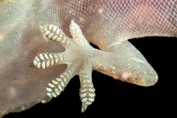Gecko leg seen from below in black background