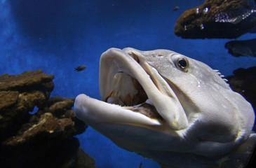 A Mediterranean Grouper fish swims inside a tank in Palma Aquarium in Mallorca