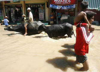 A resident rides a water buffalo through floodwater brought by Typhoon Nesat, in Candaba town