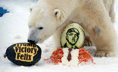Felix, a 10-year-old male polar bear, inspects the gained treats for predicting the winner of U.S. presidential election in Krasnoyarsk