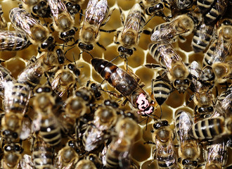 A queen bee is seen among other bees in a honeycomb at  a bee farm near the city of Probishtip