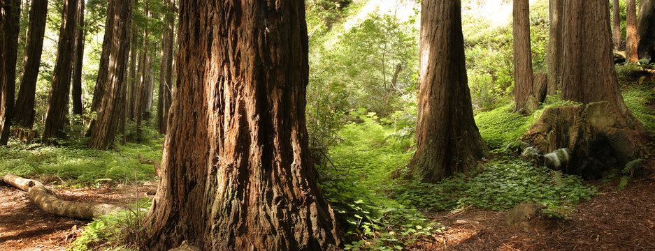Panoramic scene of a redwood forest