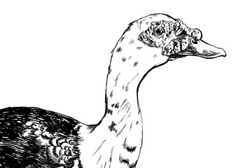 hand drawn duck vector on white background.