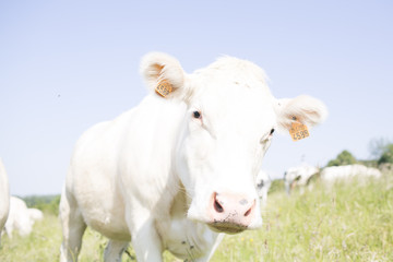 a bright white cow in close up