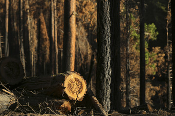 A logged tree stump is pictured amongst trees scorched from last year's Rim fire near Groveland