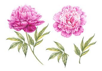 Set of watercolor pink peonies.