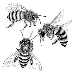 Hand drawn bees sketch set in black and white. Vector illustration of three bees from various angles in detail.