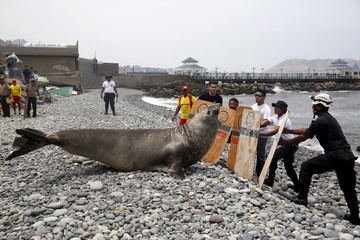An elephant seal is herded by police and volunteers for a check by veterinarians after it was found in a sick condition on a beach at Miraflores district of Lima
