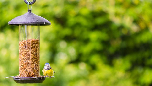 small bluetit sat on feeder facing camera