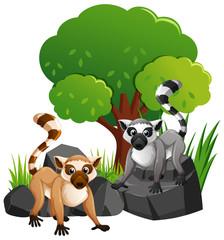 Two cute lemures on rocks