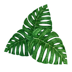 Hand painted group of three watercolor tropical monstera leaves isolated on the white background