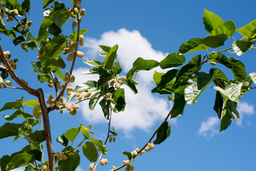 White mulberry tree branch and fruits