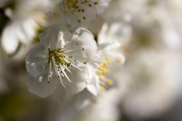 Fototapete - Blüten am Kirschbaum