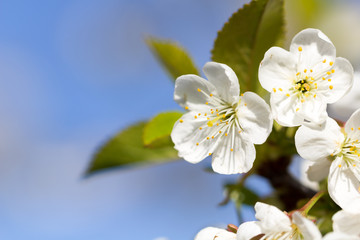 Fototapete - hübsche weiße Kirschbaumblüten mit blauem Himmel
