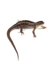 Female of sand lizard (Lacerta agilis) isolated on white