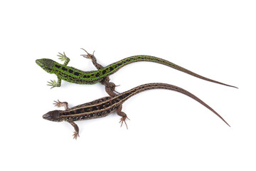 Female and male of sand lizard (Lacerta agilis) isolated on white