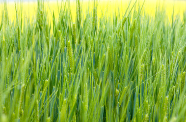Fresh green wheat grass with drops