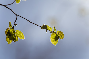 Beautiful blooming hazel nut tree leaves in spring