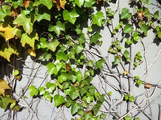 Ivy on the building wall. New leaves in the spring sunshine
