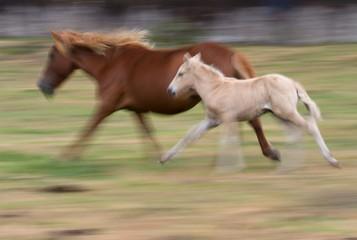 "Two wild horses run during the ""Rapa Das Bestas"" event in Mougas, northwestern Spain"