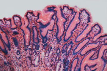 Cell microscopic- pyloric section stomach dog