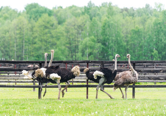 Group of ostrich in the farm