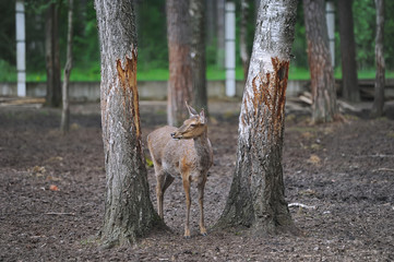 Portrait of a dappled deer standing between trees in the forest