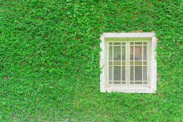 Green plant wall  background and white window. Beautiful natural green plant leaves wall  background.