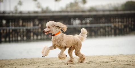 Standard Poodle dog running along beach shore