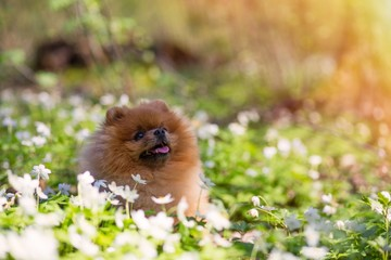 Beautiful and fluffy pomeranian dog in a spring forest flowers. Adorable dog. Dog in a forest.