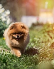 Pomeranian dog outdoor
