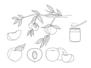peach hand drawn line art vector fruit set illustration