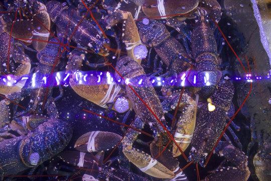 Market lobsters