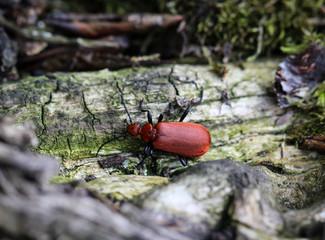 Kardinal Käfer, Cardinal Beetle - Pyrochroa serraticornis, Tiere, Käfer, Natur