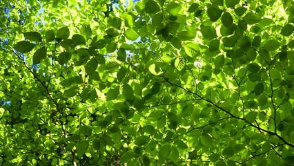 Buchenblätter leuchten grün im Gegenlicht