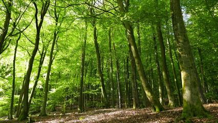 sonniger Buchenwald im Frühling in der Pfalz
