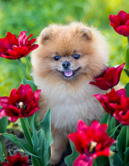 Pomeranian dog in red tulips. Dog with flowers in a park