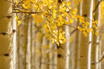 Autumn Aspen Light