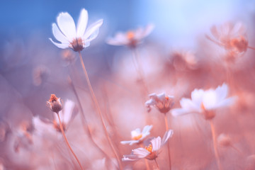 Delicate cosmos flowers with beautiful pastel tones. An artistic image. Very selective and soft focus.