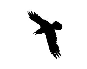 Silhouette of a flying crow isolated on white