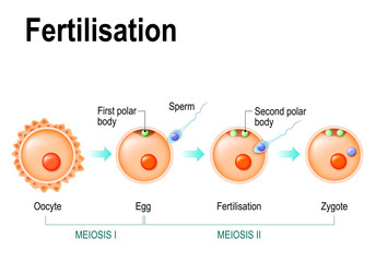 Meiosis and fertilization.