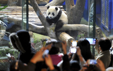 Yuan Zai, the first Taiwan-born baby panda, climbs a wood log inside an enclosure as visitors take pictures at the Taipei City Zoo in Taipei