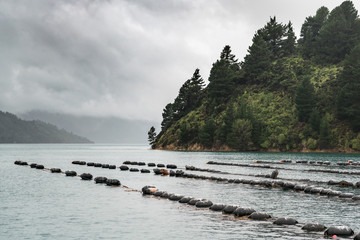 Picton, New Zealand - March 12, 2017: Multiple lines of floaters holding strings with growing mussels in Hitaua Bay. View over bay under stormy cloudy sky. Green forested mountain on the side.