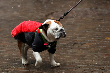 A bulldog reacts during snow flurries in New York
